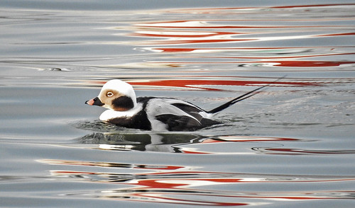 Long-tailed Duck - Irondequoit Bay Outlet - © Candace Giles - Jan 22, 2020