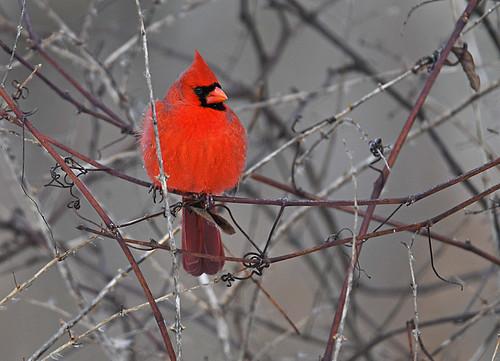 Northern Cardinal - Mendon Ponds - © Dick Horsey - Jan 22, 2020