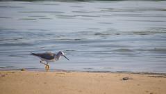 Nuevo Vallarta (mikeginn12000) Tags: shorebird grandbliss vidanta canon sea ocean mexico