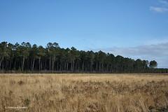 Colors (domingo4640) Tags: agriculture champ arbre pin campagne ciel foret landes grandelande hautelande estigarde paysage paysagecampagne