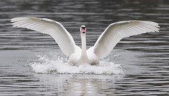 Landing swan (legoman1691) Tags: swan nature wildlife wildbird naturephotography wildlifephotography