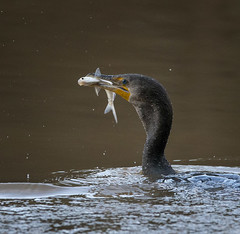 "Breakfast (5'20"") Tags: cormorant eating fish birds animals wildlife apex nc water morning"