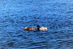 Ducks on the river (thomasgorman1) Tags: blue ducks canon eost6 nature water river laughlin colorado nevada waterfowl birds