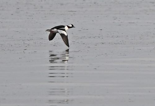 Bufflehead - Hamlin Beach - © Dick Horsey - Jan 23, 2020