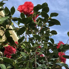 fullsizeoutput_a300 (lnewman333) Tags: highlandpark losangeles ca usa nela northeastlosangeles southerncalifornia socal flower camellia