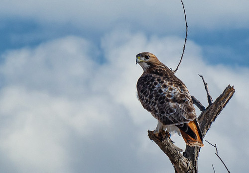 Red-tailed Hawk - Braddock Bay - © Clyde Comstock - Jan 24, 2020
