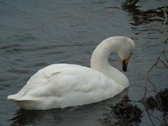 DSC09615 (newbert12) Tags: whooper swan bird water