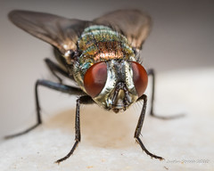 Fly Portrait Stack (strjustin) Tags: fly insect bug focusstacking macro mpe