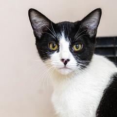 Poppy25Jan20205.jpg (fredstrobel) Tags: pawsatanta atlanta places pets animals ga usa pawscats cats decatur georgia unitedstatesofamerica