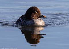 9Q6A5572 (2) - Goldeneye (F) (Alinbidford) Tags: alancurtis brandonmarsh goldeneyef nature wildbirds wildlife