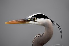 Great Blue-Heron (Connor Cochrane) Tags: bird birds birdwatching birding heron great blue gbhe marin california