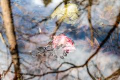 Circular Polarizer Study 2b (Puddin Tain) Tags: azalea miyazakijapanesegarden japanesegarden redwingpark circularpolarizer virginiabeach pond water leaves nikon d850 nikond850