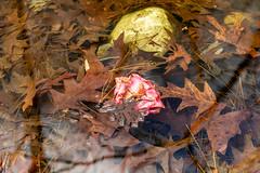 Circular Polarizer Study 2a (Puddin Tain) Tags: azalea miyazakijapanesegarden japanesegarden redwingpark circularpolarizer virginiabeach pond leaves water nikond850 d850 nikon