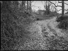 winter landscape, bare branches, rural roadway, near dusk, Biltmore Estate, Asheville, NC, Mamiya 645 Pro, Kodak Tri-X 400, Moersch Eco film developer, 1.10.20 (steve aimone) Tags: winter winterlandscape barebranches roadway rural neardusk biltmoreestate asheville northcarolina mamiya645pro mamiyasekor80mmf28 mamiyaprime primelens 120 120film film analog 645 blackandwhite monochrome monochromatic mediumformat