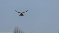 9Q6A5627 (2) - Kestrel (Alinbidford) Tags: alancurtis birdofprey brandonmarsh kestrel nature raptor wildbirds wildlife