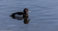 9Q6A5617 (2) - Tufted Duck (Alinbidford) Tags: alancurtis brandonmarsh nature tuftedduck wildbirds wildlife