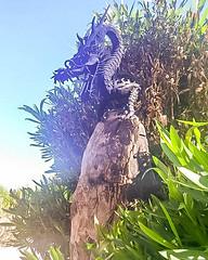 Taliesin West Dragon (jrpopfan) Tags: scottsdale summer exploreeverthing traveling desert travel statue exploration iphone architecture taliesinwest wanderlust franklloydwright summersun arizona