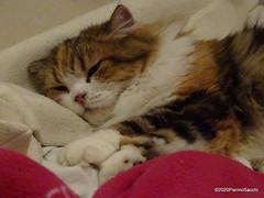 Q1251566 DSC05487 (pierino sacchi) Tags: casalamborghini casa cat cats ellie gatta gatto lamborghini