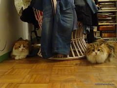 Q1251564 DSC05485 (pierino sacchi) Tags: casalamborghini casa cat cats ellie gatta gatto lamborghini