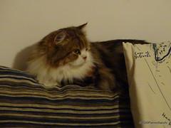 Q1251554 DSC05475 (pierino sacchi) Tags: casalamborghini casa cat cats ellie gatta gatto lamborghini