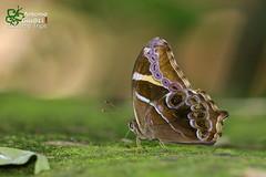 The Bamboo Treebrown - เลอะเทอะป่าไผ่ (Antonio Giudici Butterfly Trips) Tags: thebambootreebrown เลอะเทอะป่าไผ่ nymphalidae satyrinae letheeuropaniladana thailand chiangmai srilannanationalpark