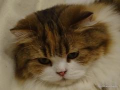 Q1251572 DSC05493 (pierino sacchi) Tags: casalamborghini casa cat cats ellie gatta gatto lamborghini