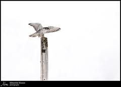 Faucon gerfaut (Sébastien Dionne photographe) Tags: faucon falcon gyrfalcon faucongerfaut bassaintlaurent oiseau oiseaux bird birds canon canon5dmarkiv canon5dmkiv 5dmarkiv 5dmkiv 150600mm 150600 sigma sigma150600 sigma150600dgoshsmsport sigma150600s
