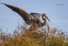 Its time (Mike_FL) Tags: itstime nikon nikond7500 nature bird wakodahatcheewetlands wildlife wetlands tamron100400 florida floridawildlife floridabirdingtrail photograph park image