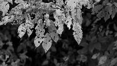 The Beautiful Mazeri Valley - Georgia (virtualwayfarer) Tags: mazeri samegrelozemosvaneti georgia mestia chvabiani georgiacountry georgian svanetiregion svaneti roadtrip exploring adventure indietravel autumn fall adventuretravel changingseason mountains fallcolors weather unescoworldheritage unesco virtualwayfarer sonyalpha traveling a7riii sonynordic caucasus caucasusmountains alexberger realgeorgia tourism outdoors nature natural naturalworld sunset dramaticlight layeredlight mountain clouds unusual wildlight alpineglow landscapes landscapephotography travelphotography discoverygeorgia visitgeorgia farm fields field farmland valley peacefulvalley peaceful lonetree tree alone golden setapart firetree მაზერი ushba უშბა snowpack georgiatravel visittogeorgia blackandwhite blackandwhitephotography