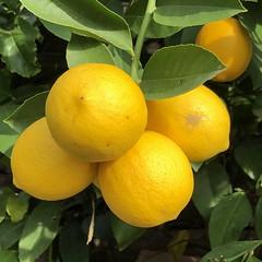 fullsizeoutput_a303 (lnewman333) Tags: highlandpark losangeles ca usa nela northeastlosangeles southerncalifornia socal citrustree lemontree meyerlemon backyard fruit
