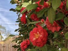 fullsizeoutput_a301 (lnewman333) Tags: highlandpark losangeles ca usa nela northeastlosangeles southerncalifornia socal flower camellia