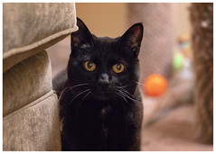 black beauty (marneejill) Tags: black cat yellow eyes orange ball