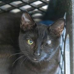 Dinah25Jan202016.jpg (fredstrobel) Tags: pawsatanta atlanta places pets animals ga usa pawscats cats decatur georgia unitedstatesofamerica