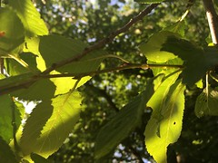 IMG_1866 June 15, 2017 (tombrewster6154) Tags: midjune 2017 mmxvii thursday sunlight sunshine beautiful leaves backlit daytime photography picture late spring long day greensboro northcarolina united states usa southern southeastern tar heel state gate city digital camera photograph bright shiny