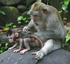 Makake  . Monkey Forest . Bali !   -In Explore- (Uhlenhorst) Tags: 2016 indonesia indonesien bali animals tiere travel reisen