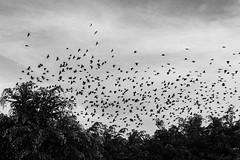 Pájaros (_dingrid) Tags: pajaros bird arboles cielo sky blancoynegro blacknwhitephotography canon