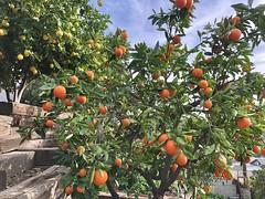 fullsizeoutput_a307 (lnewman333) Tags: highlandpark losangeles ca usa nela northeastlosangeles southerncalifornia socal tangelos citrustree backyard fruit