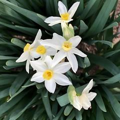 fullsizeoutput_a2ff (lnewman333) Tags: highlandpark losangeles ca usa nela northeastlosangeles southerncalifornia socal daffodil flowers