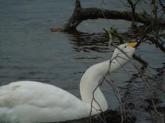DSC09616 (newbert12) Tags: whooper swan bird water