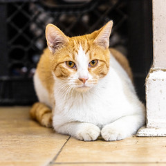 joey25Jan20201.jpg (fredstrobel) Tags: pawsatanta atlanta places pets animals ga usa pawscats cats decatur georgia unitedstatesofamerica