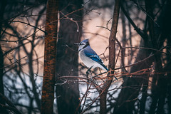 In The Park (jacekmoszej) Tags: nature fantasticwildlife wildlife winter northerncardinal bluejay birds bird outdoor outdoors canoneosr c