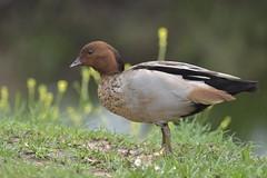 Australian Wood Duck male (Luke6876) Tags: australianwoodduck woodduck duck bird animal wildlife australianwildlife nature