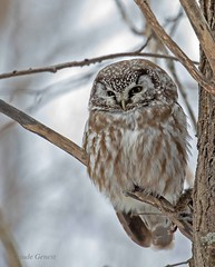 Nyctale de Tengmalm / Boreal Owl (Claude Genest) Tags: