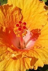 (perogilfotos) Tags: floresyjardines flora flor floral flowers flores flower hibiscus hibisco color colour naturaleza natura nature macro makro garden beautiful