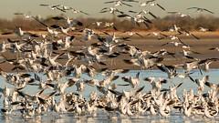 Landing Party (gseloff) Tags: americanavocet bird flight bif landing water beach surf gulfofmexico bolivarflats bolivarpeninsula galvestoncounty texas gseloff