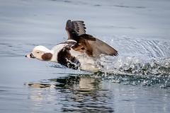 Splash Down (tresed47) Tags: 2020 202001jan 20200123newjerseybirds barnegatlightsp birds canon7dmkii content ducks folder january longtailedduck newjersey peterscamera petersphotos places season takenby us winter