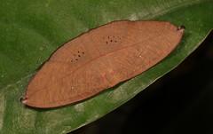 Uraniid Moth (Decetia sp., Auzeinae, Uraniidae) (John Horstman (itchydogimages, SINOBUG)) Tags: insect macro china yunnan itchydogimages sinobug entomology canon moth lepidoptera auzeinae uraniidae brown