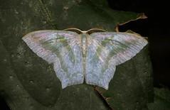 Geometrid Moth (Maxates thetydaria, Geometrinae) (John Horstman (itchydogimages, SINOBUG)) Tags: insect macro china yunnan itchydogimages sinobug entomology canon moth lepidoptera geometrinae geometridae green