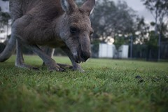 Kangaroo closeup (ian.crowther) Tags: lonepinekoalasanctuary kangaroo brisbane australia queensland figtreepocket portrait