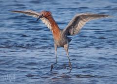 Water Dancer - Reddish Egret (Ingrid Taylar) Tags: bolsachica ecologicalreserve reddish egret reddishegret dance dancer wetlands southerncalifornia huntingonbeach